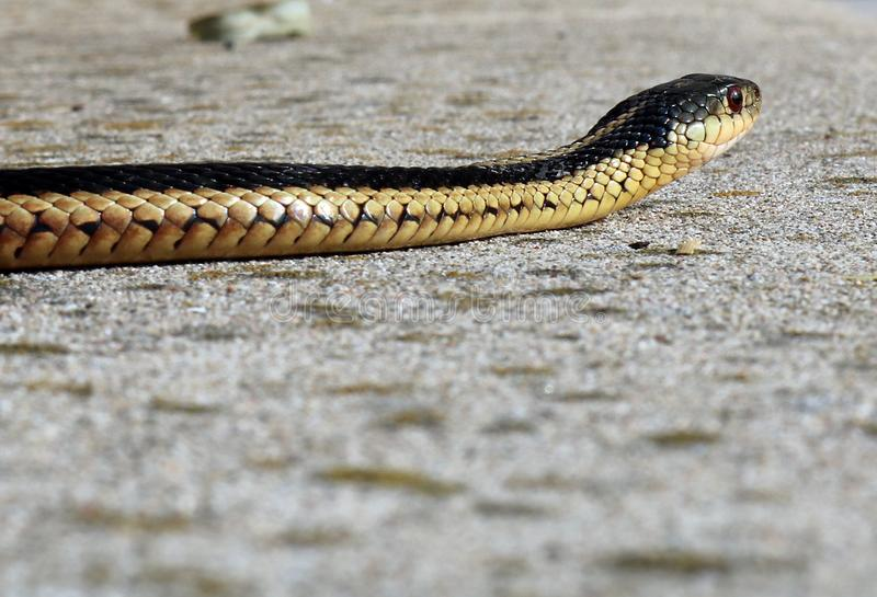 Closeup of Common Garter Snake`s Head on Concrete. View of the Common Garter Snake from the side at ground level as it slithers on our cement patio in southern royalty free stock photography