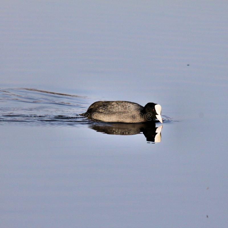 A view of a Coot in the water royalty free stock photography