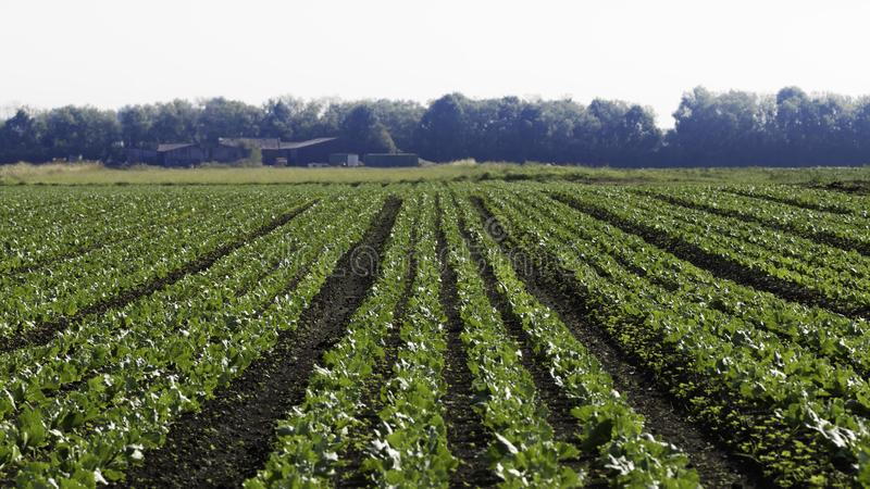 A view of a crop field with single point perspective. royalty free stock photography