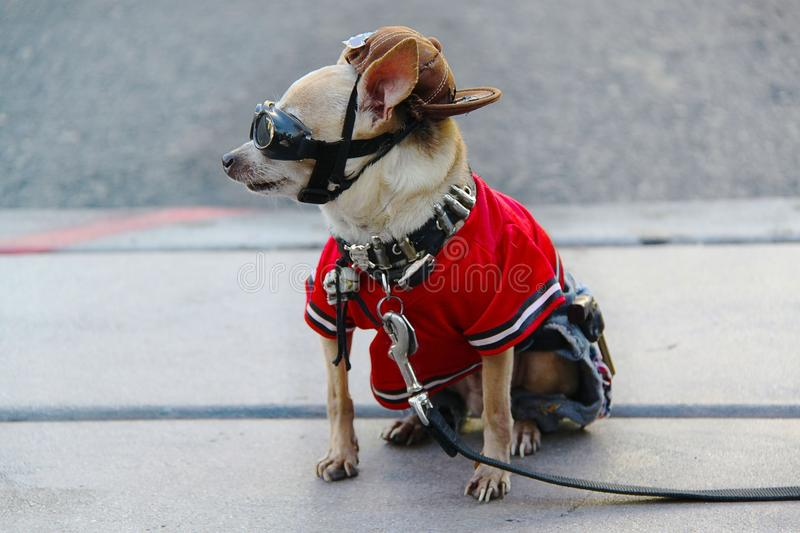 View cute little dog in costume sitting on asphalt. Las Vegas. royalty free stock images