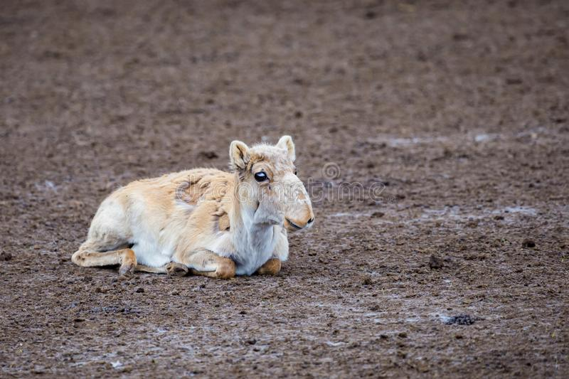 Cute young Saiga antelope or Saiga tatarica rests on ground during molting royalty free stock image