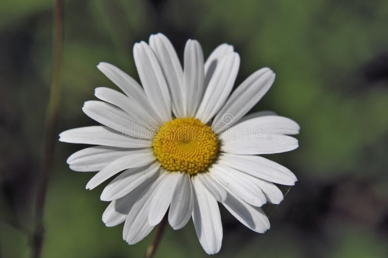 A view of a Daisy in my garden. In Whitchurch in shropshire royalty free stock photo