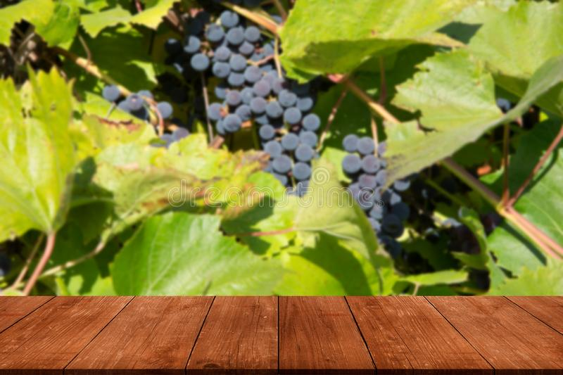 View from dark wooden table to vineyards at sunset in autumn harvest. Ripe grapes in fall. Selective focus stock photos