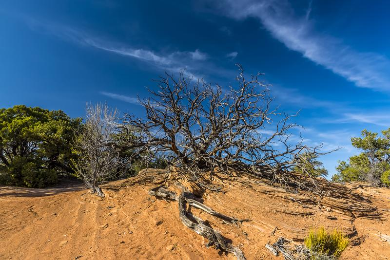 Dead tree atop a mound in Canyonlands national park with mare tail clouds royalty free stock images