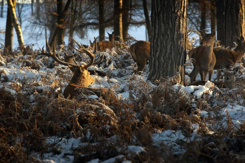 A view of deer in the grounds of the Elizabethan Wollaton Hall museum and gardens in the snow in winter in Nottingham, royalty free stock image