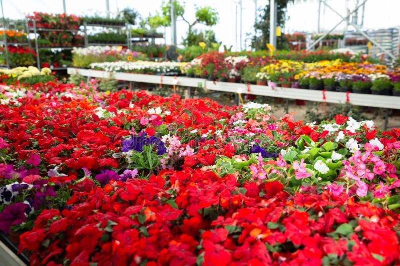 View of different bloomy flowers begonia growing in greenhouse stock image