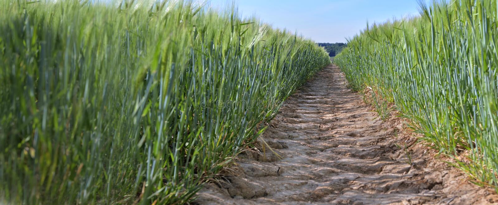 dirt path crossing a wheat growing in a field royalty free stock photo