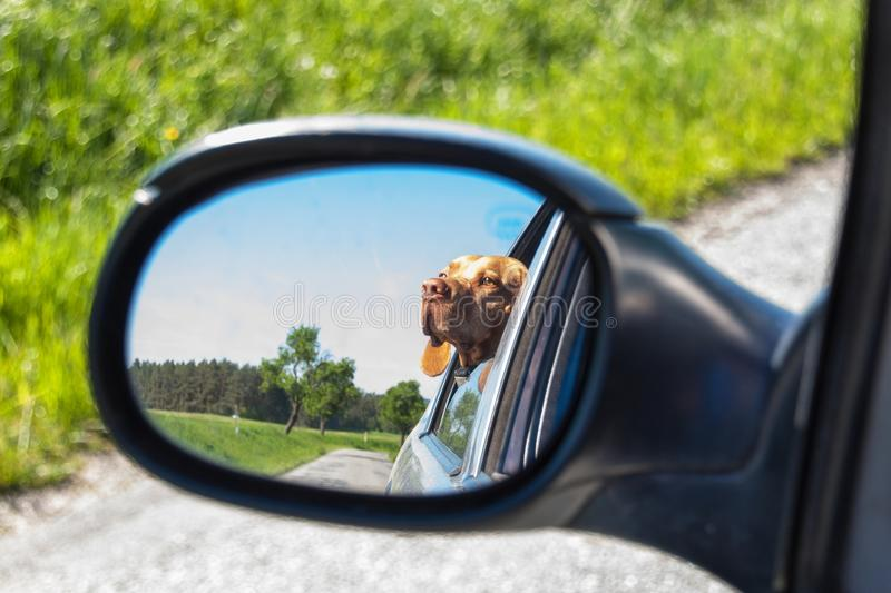 View of the dog in the rearview mirror of the car. Dog looking out the car window. Hungarian pointer Vizsla. stock photos