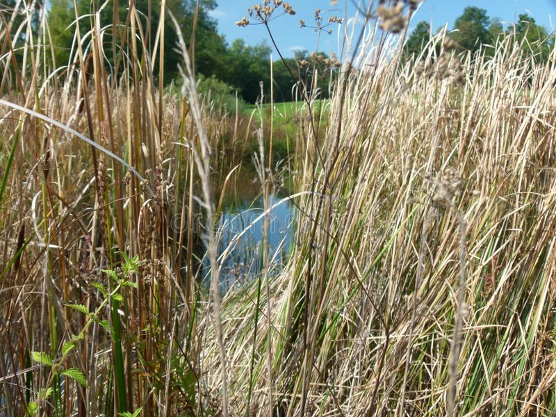 View through dried reeds on a pond. Dried reed belt on pond with focus on foreground, Lakeshore with dry reed with blurred Background, Phragmites australis stock photography