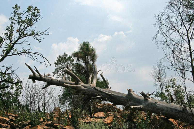 FALLEN TREE TRUNK WITH BRANCHES TRIMMED royalty free stock image