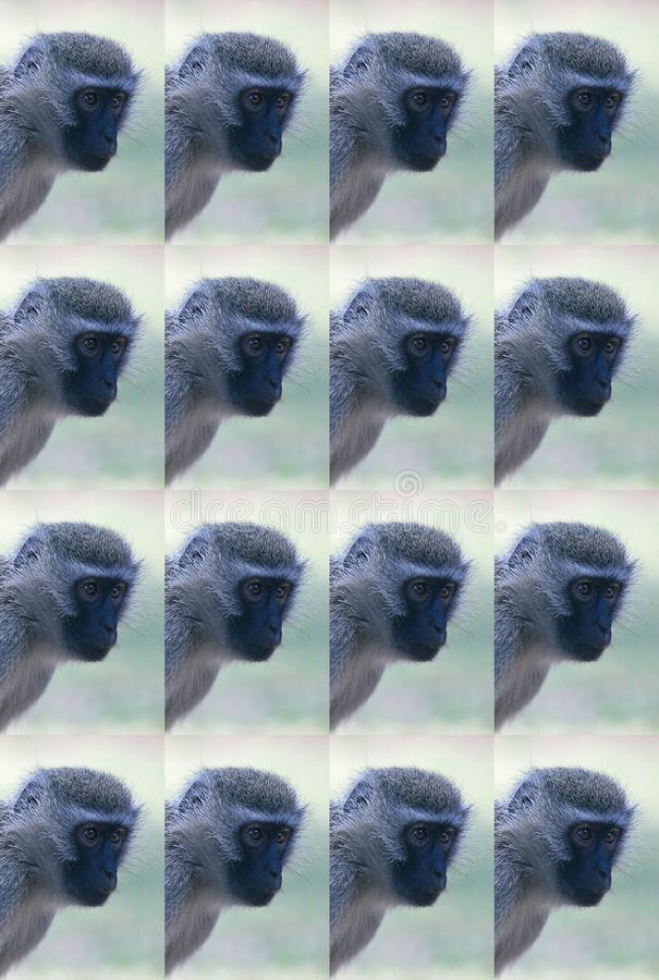DUPLICATE IMAGE OF FACE OF VERVET MONKEY. View of duplication of face of vervet monkey with a light green background stock photography