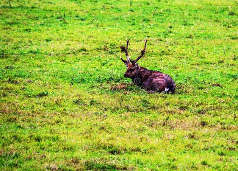 View of a Dybowski deer, Latin Cervus nippon hortulorum stock image