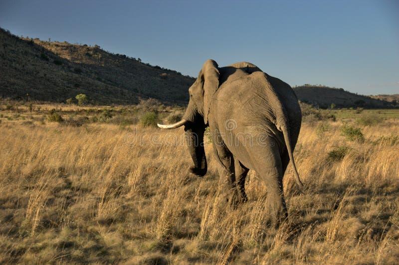 Elephant at Pilanesberg National Park royalty free stock image