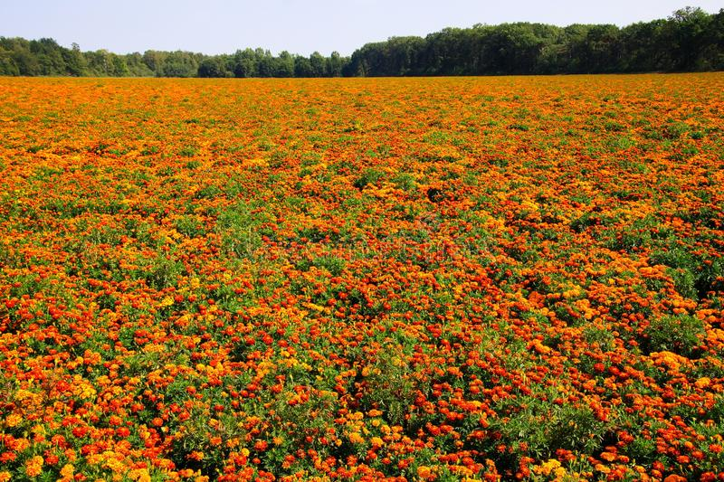 View on endless field with countless yellow and orange marigold flowers Tagetes erecta and patula stock photography