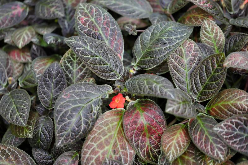 View of episcia reptans a genus of tropical flowering plant royalty free stock photos