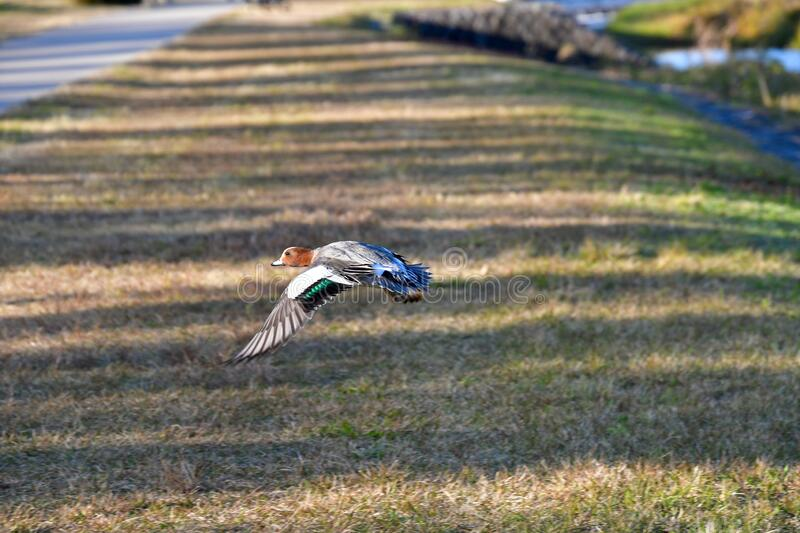 A view of Eurasian wigeon flying in the air. stock image