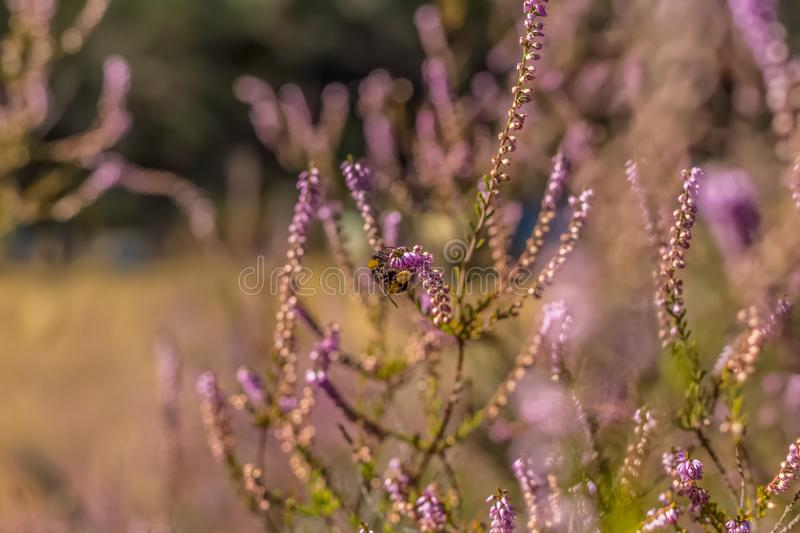 View of a European bee perched on a flower, drawing pollen from the flower, in a field, on spring royalty free stock photos