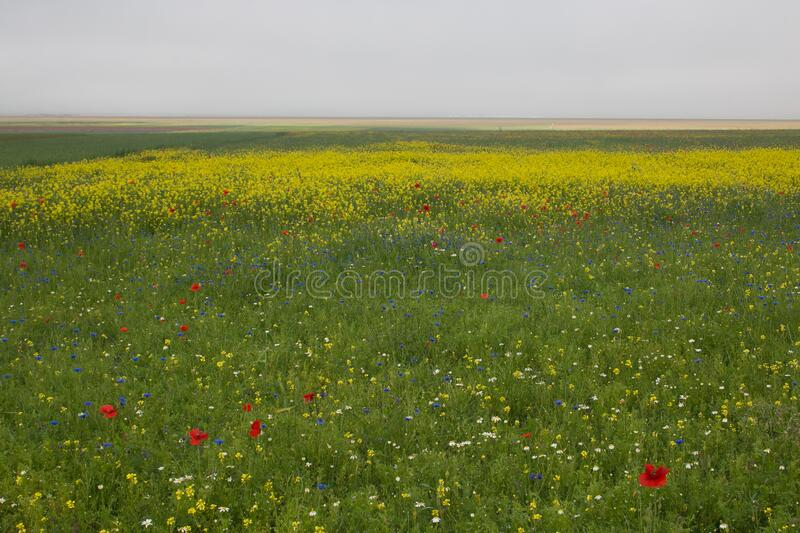 View of the famous lentils flowering in Castelluccio di Noria during summer foggy day stock images