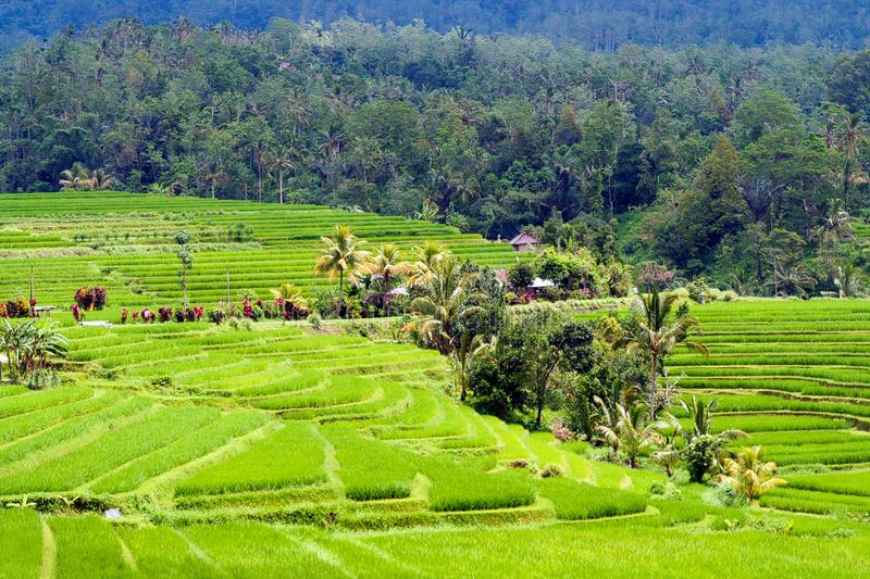 View on farm in green valley with rice paddies and forest background. Bali, Indonesia royalty free stock images