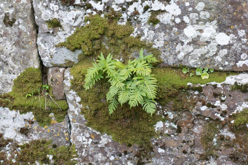 Fern plants and moss growing in cracks of old stone wall stock photography