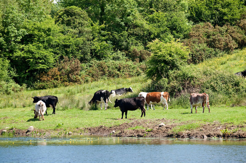 Download View Of The Field With Cow. Stock Photo - Image: 14682882