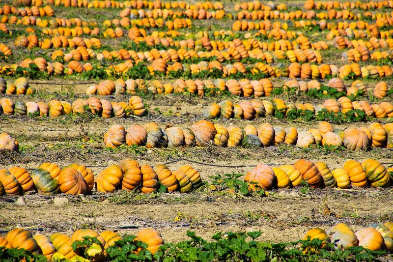 View on field with pumpkins after harvest arranged in a row on sunny day in autumn - France, Provence stock image