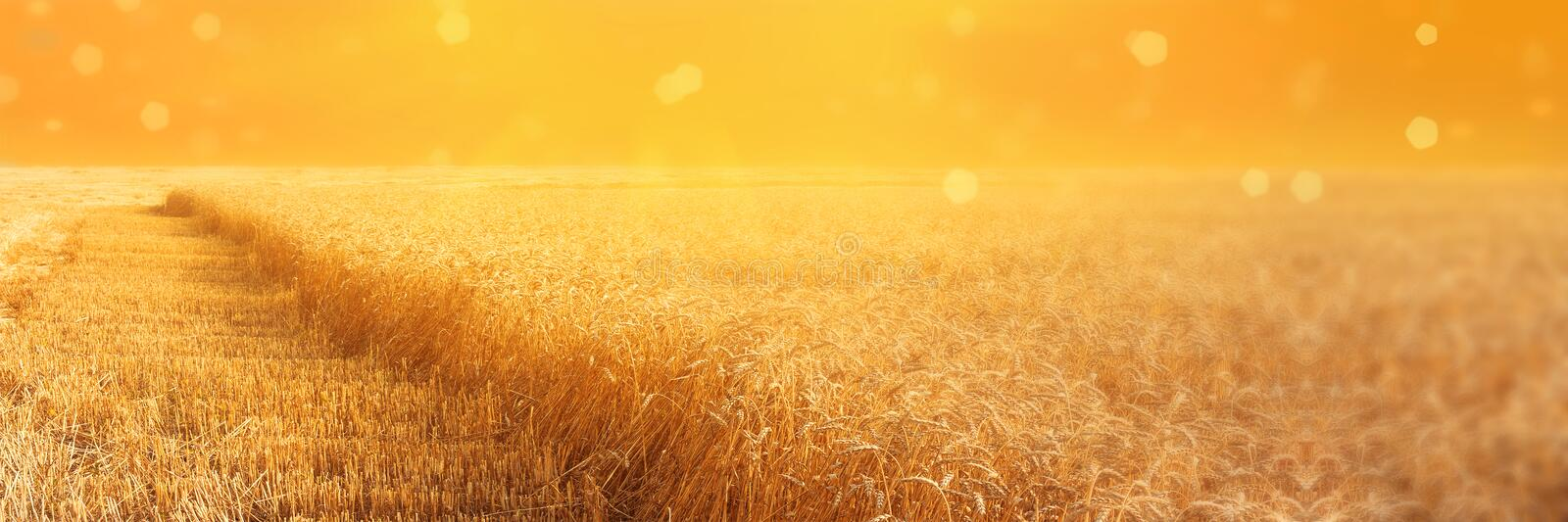 View of field of rye with beveled stripbeveled strips during harvesting at sunset. Summer agriculture rural background. Panoramic royalty free stock photography