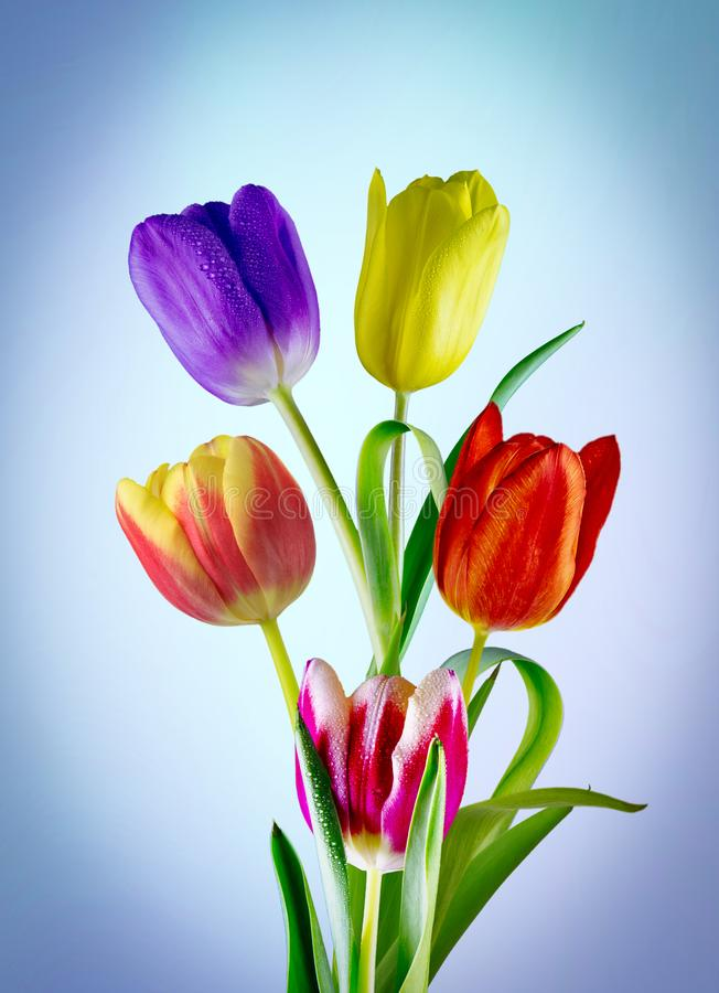Wonderful coloured tulips. View of five different coloured tulips on a blue diffused background royalty free stock images