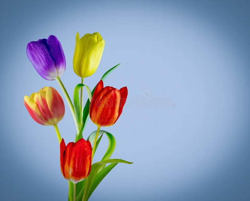 Wonderful coloured tulips. View of five different coloured tulips on a blue diffused background royalty free stock image