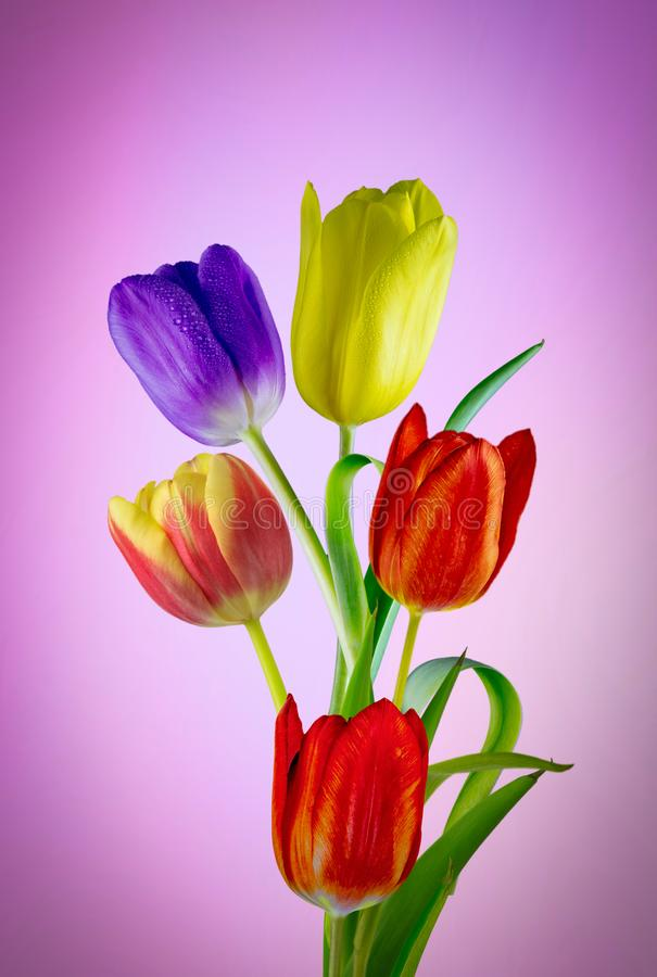 Wonderful coloured tulips. View of five different coloured tulips on a purple diffused background royalty free stock photography