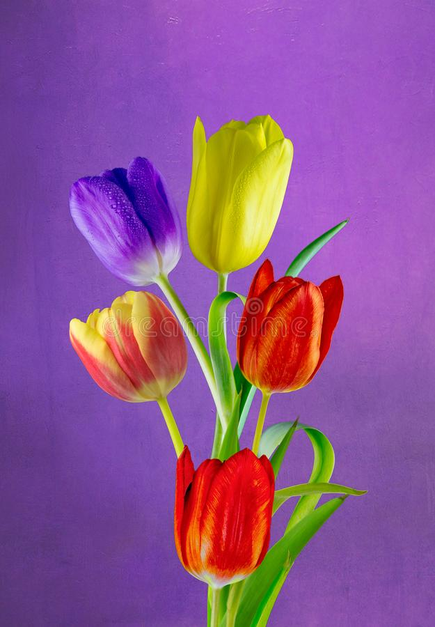 Wonderful coloured tulips. View of five different coloured tulips on a Purple diffused background royalty free stock photo