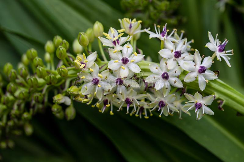 View of flowering tropical plant with white-lilac small flowers royalty free stock photography
