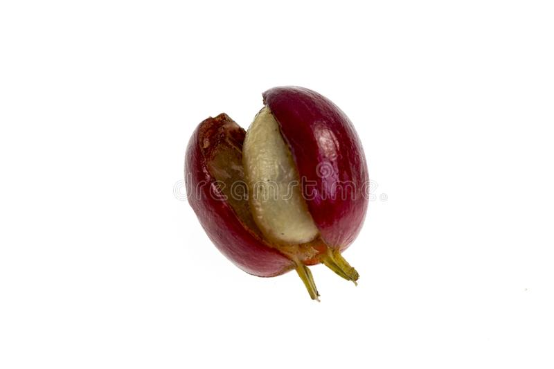 Coffee Cherry Fruit Anatomy. View of a fresh coffee cherry fruit anatomy with the outer section composed by the skin and pulp, in red in the image, and the inner royalty free stock photography