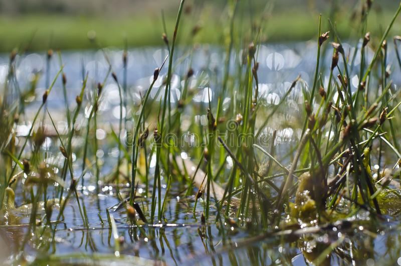 The new reed grass sprouts growing out of the green river. A view of the fresh little reed grass sprout growing up and out of the green river in the spring sun stock photography