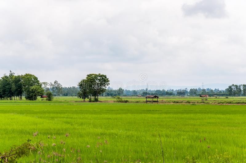 View of the fresh paddy field with the light fog royalty free stock photo