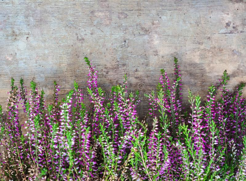 View of fresh purple Calluna vulgaris flowers on wooden background royalty free stock photos