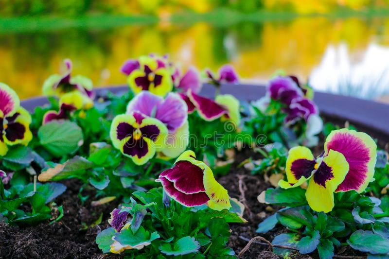 View of funny pansies, violet in the garden, nature royalty free stock photography