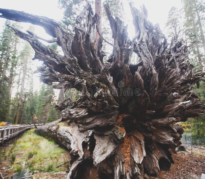 View of giant redwood sequoia trees in Mariposa Grove of Yosemite National Park, Sierra Nevada, Wawona, California, United States. Of America royalty free stock photo