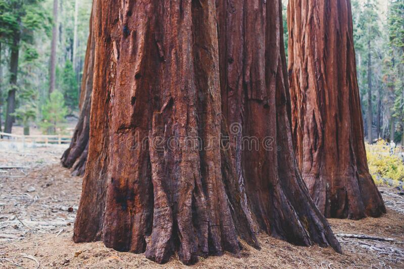 View of giant redwood sequoia trees in Mariposa Grove of Yosemite National Park, Sierra Nevada, Wawona, California, United States. Of America royalty free stock images