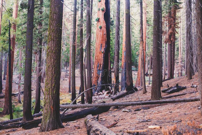 View of giant redwood sequoia trees in Mariposa Grove of Yosemite National Park, Sierra Nevada, Wawona, California, United States. Of America royalty free stock image