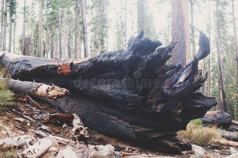View of giant redwood sequoia trees in Mariposa Grove of Yosemite National Park, Sierra Nevada, Wawona, California, United States. Of America stock image