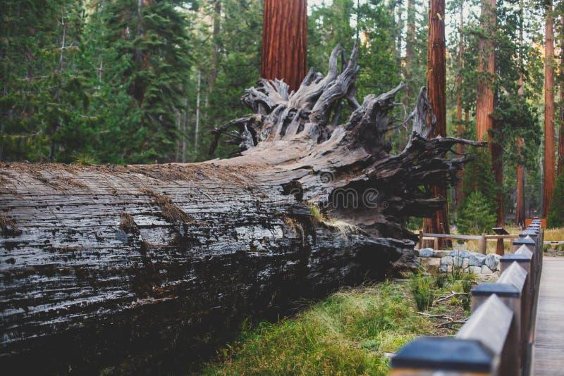 View of giant redwood sequoia trees in Mariposa Grove of Yosemite National Park, Sierra Nevada, Wawona, California, United States. Of America stock photos