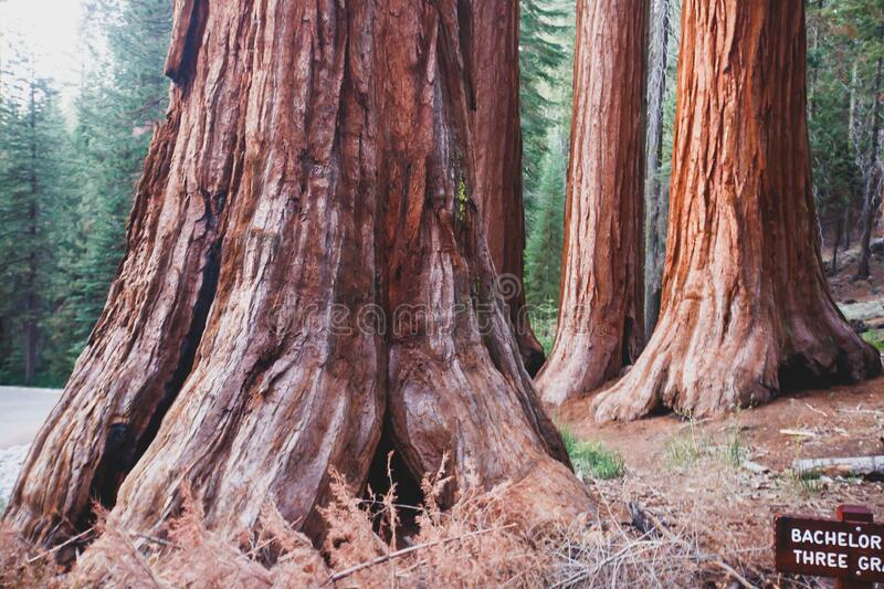 View of giant redwood sequoia trees in Mariposa Grove of Yosemite National Park, Sierra Nevada, Wawona, California, United States. Of America royalty free stock photography