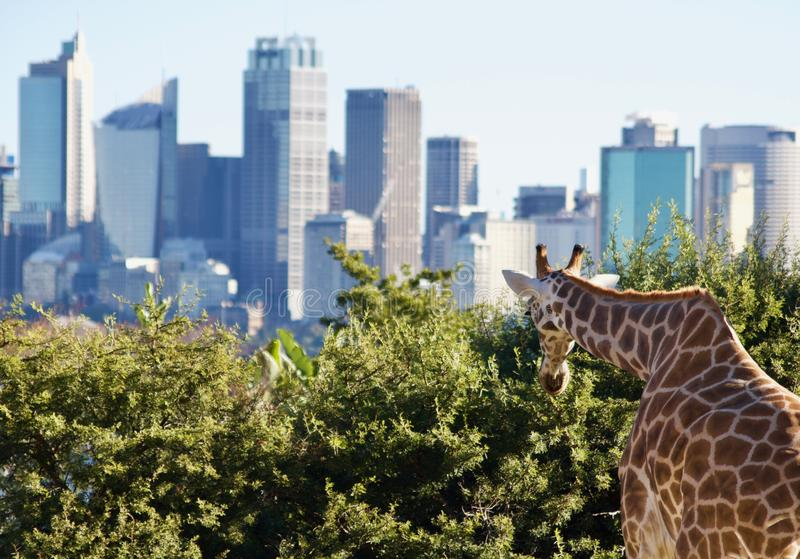 View of giraffe looking at Sydney skyline - image stock image