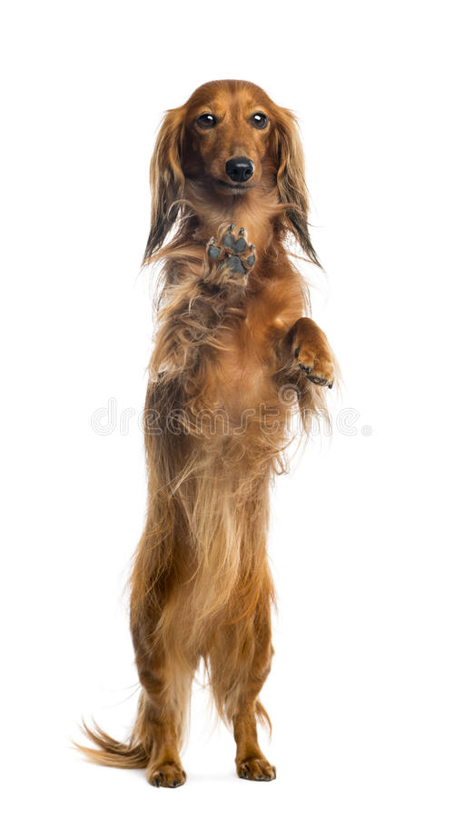 Download View Through A Glass Of A Dachshund Stock Image - Image: 29009785