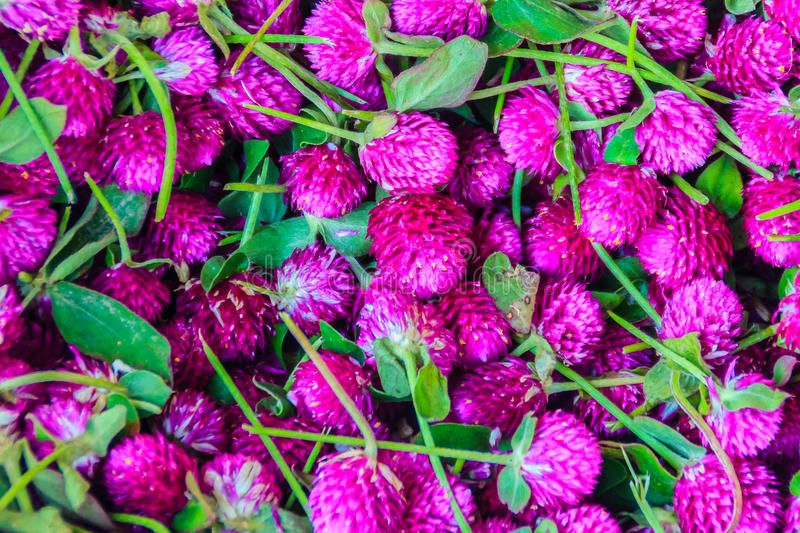 View of globe everlasting, Gomphrena weed , pearly everlasting,. Bachelor's button, globe amaranth, button agaga flower for sale in the flower market at Bangkok stock photography