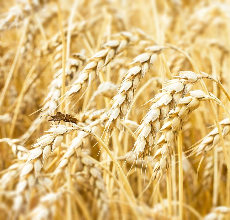 View of golden ears of wheat close up at harvest time. Grasshopper close up. Agriculture rural background stock photo
