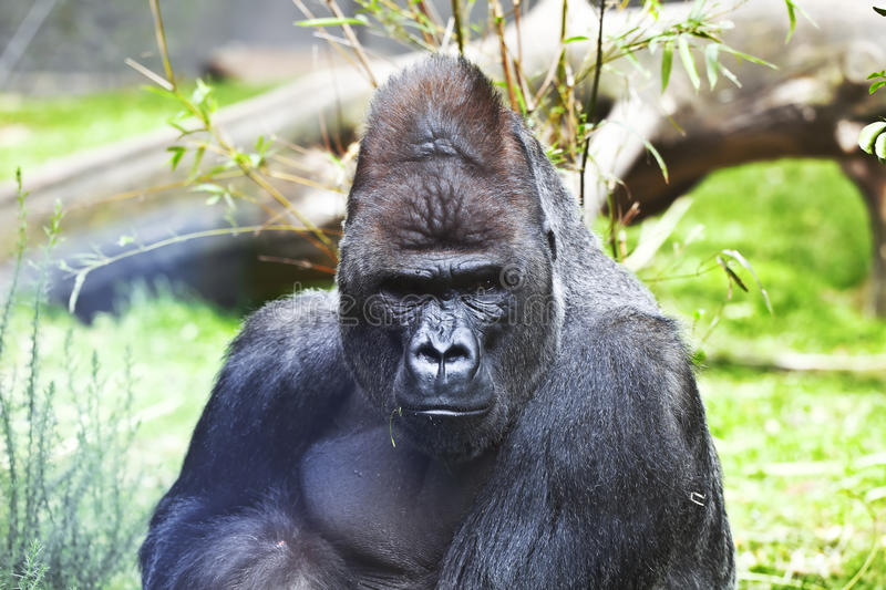 Download View gorillas stock image. Image of leaves, dominate - 21479405