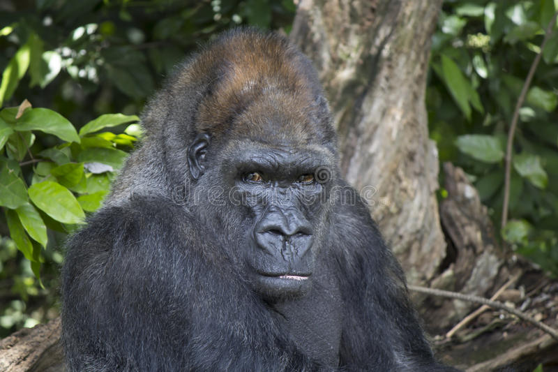 View gorillas in the park in the jungle of America royalty free stock photo