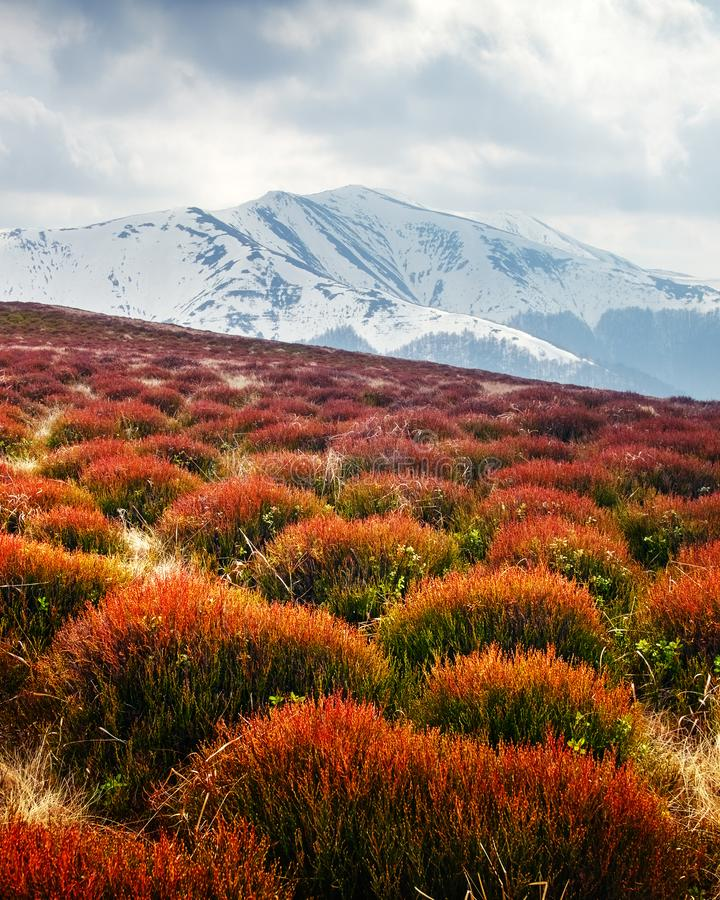 View of the grassy hills. With orange tussocks and snowy mountains on background. Dramatic spring scene stock image